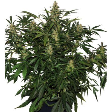 DEIMOS Autofloreciente 5 Buddha Seeds