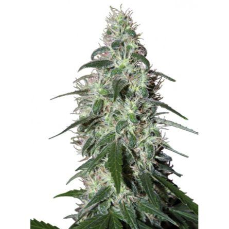 QUASAR 5 sem fem Buddha Seeds