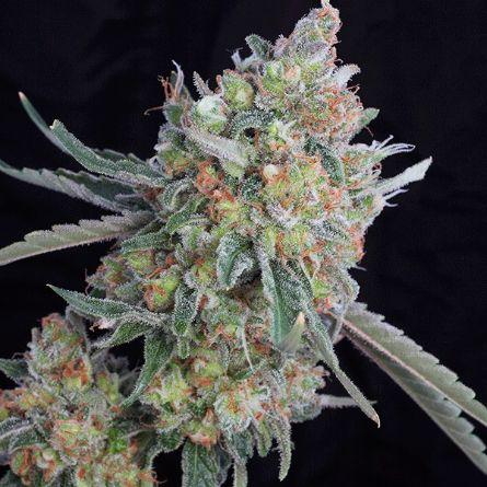 WHITE DWARF Autofloreciente 5 Buddha Seeds