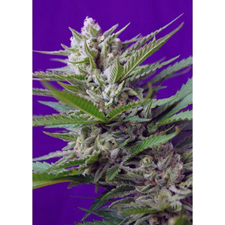 SWEET SPECIAL Autoflorecientes 5 Sweet Seeds